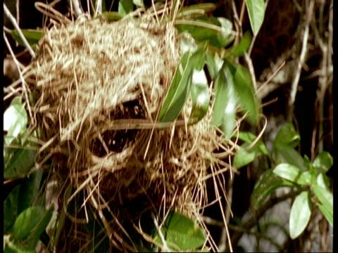 mcu bird leaving nest, south america - 降り立つ点の映像素材/bロール
