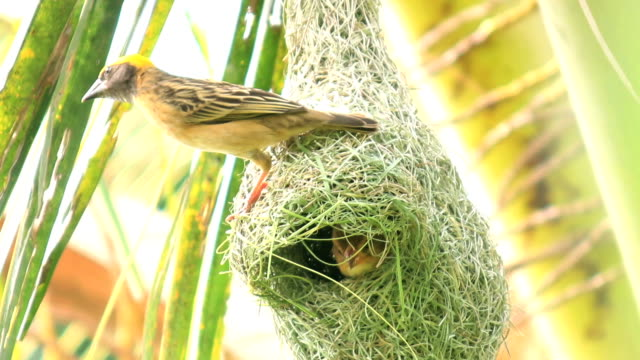 bird make nest on coconut tree in nature - bird's nest stock videos & royalty-free footage