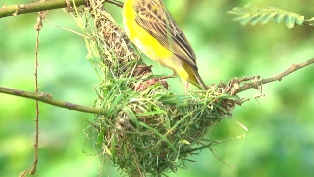 bird making bird's nest - songbird stock videos & royalty-free footage