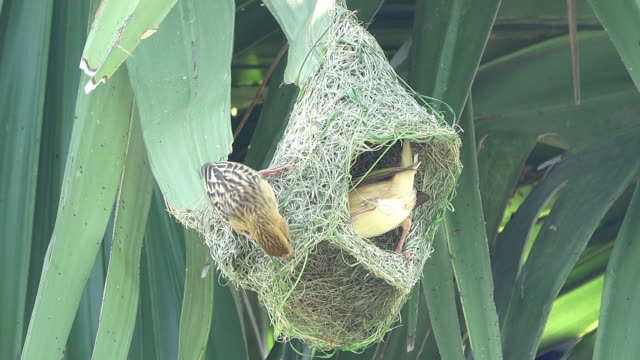 bird making bird's nest - bird's nest stock videos & royalty-free footage