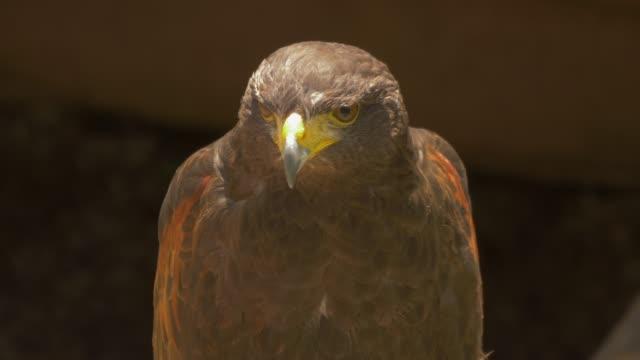 bird moving head while standing - habicht stock-videos und b-roll-filmmaterial