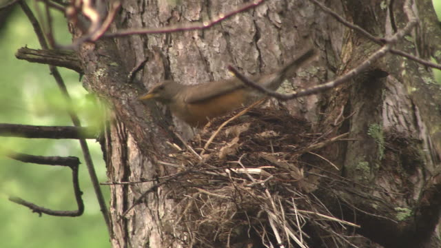 bird named brown-headed thrush - bird's nest stock videos & royalty-free footage