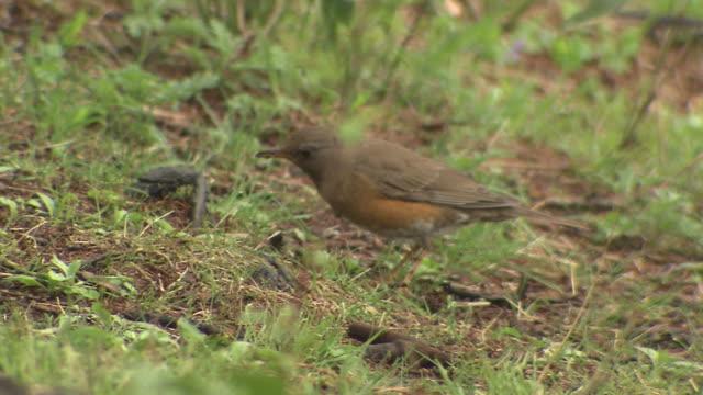 bird named brown-headed thrush - thrush stock videos & royalty-free footage