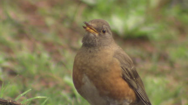 bird named brown-headed thrush - songbird stock videos & royalty-free footage