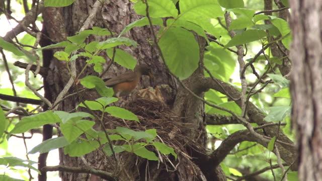 vídeos de stock e filmes b-roll de bird named brown-headed thrush - cinco animais