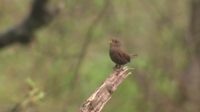 bird named eurasian wren - songbird stock videos & royalty-free footage