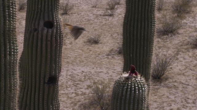 bird nests inside saguaro cactus in desert, arizona, usa - saguaro cactus stock videos & royalty-free footage