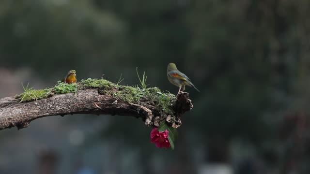 vídeos y material grabado en eventos de stock de un pájaro de acacia se alimenta de una rama - oreja animal