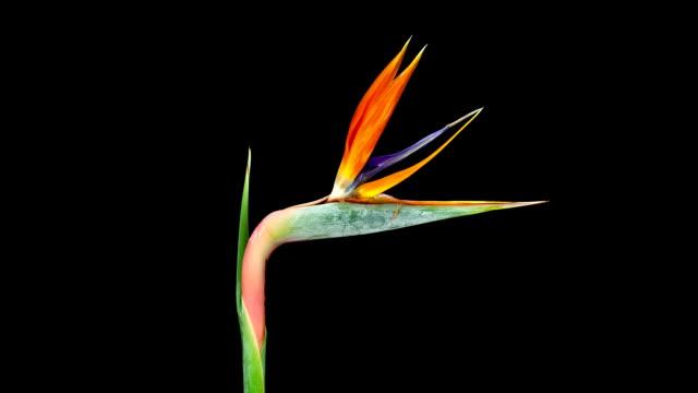 Bird of Paradise; TIME LAPSE