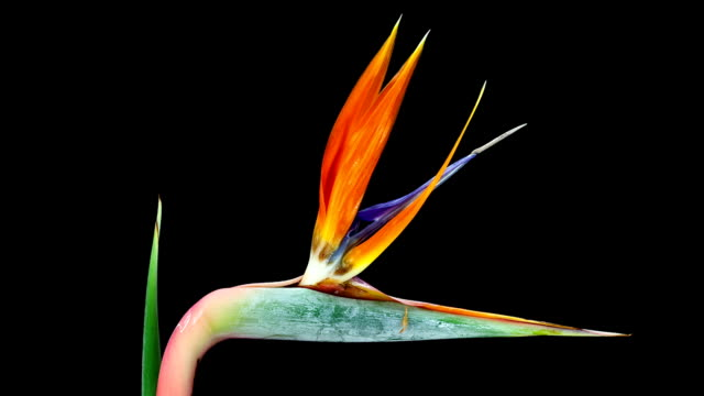 Bird of Paradise; TIME LAPSE