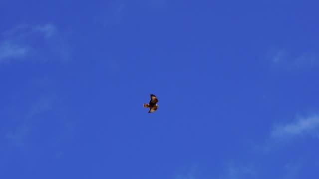 vídeos y material grabado en eventos de stock de ave de rapiña volando en el cielo de fuerteventura - halcón