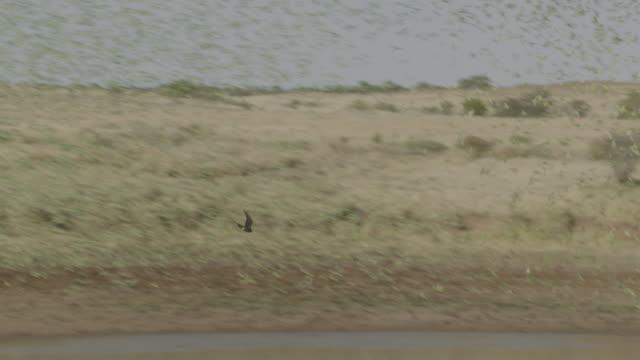 bird of prey hunts budgerigars, australia. - parrot stock videos & royalty-free footage