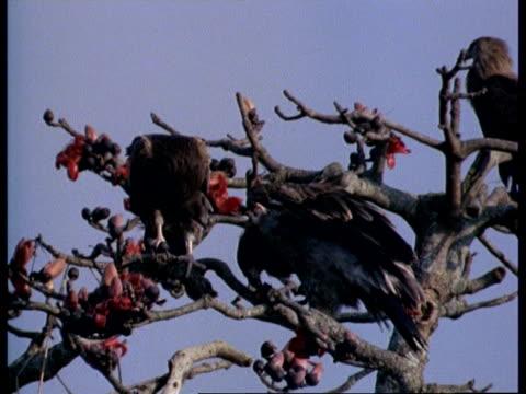 MS 2 Bird of Prey in bombax tree top, 1 eating, India