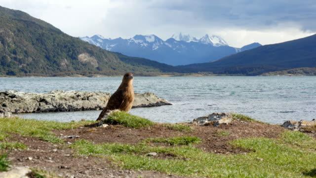 Bird of prey in Tierra de Fuego