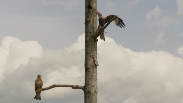 bird of prey sitting on tree branch with blue sky background - 鳥の鉤爪点の映像素材/bロール