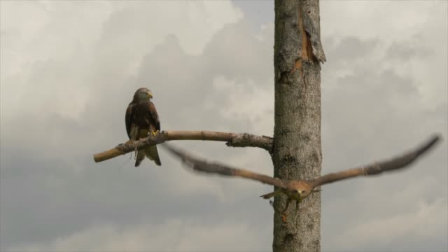bird of prey sitting on tree branch with blue sky background - limb body part stock videos & royalty-free footage