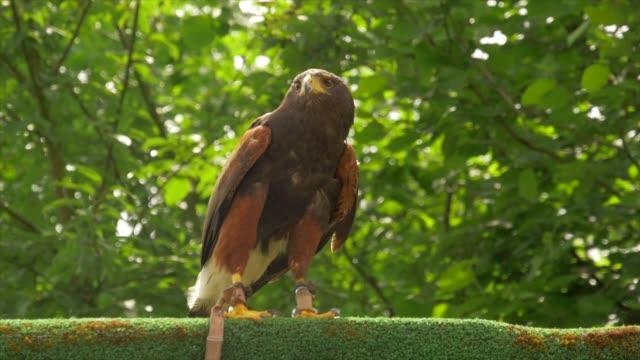bird of prey walking on top of a wall - 鳥の鉤爪点の映像素材/bロール