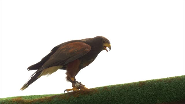 bird of prey walking on top of a wooden wall watching environment - claw stock videos and b-roll footage