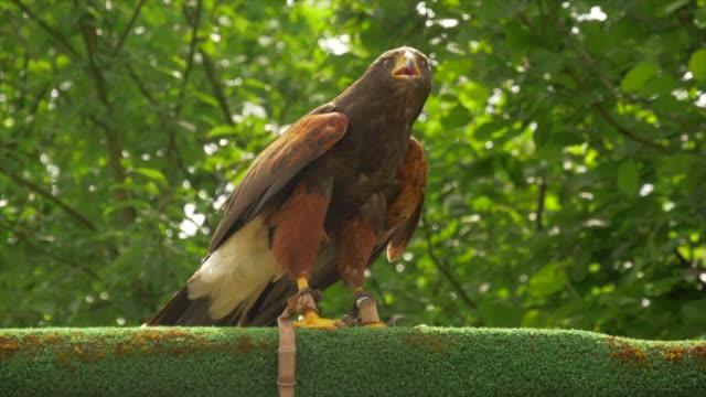 bird of prey walking on top of a wooden wall watching environment - 鳥の鉤爪点の映像素材/bロール