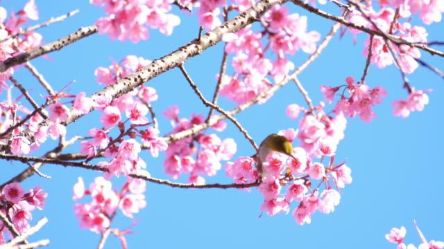 stockvideo's en b-roll-footage met vogel op kersenbloesem boom in japan - lichaamsdeel van dieren