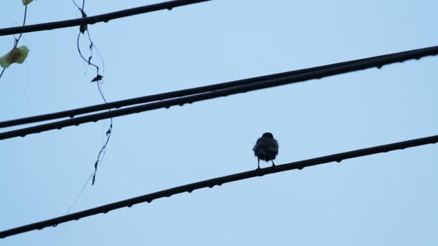 vidéos et rushes de oiseau sur câbles électriques après il pleut - commencement