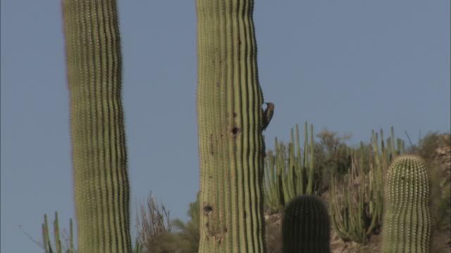 A bird pecks at a desert cactus, then flies away.
