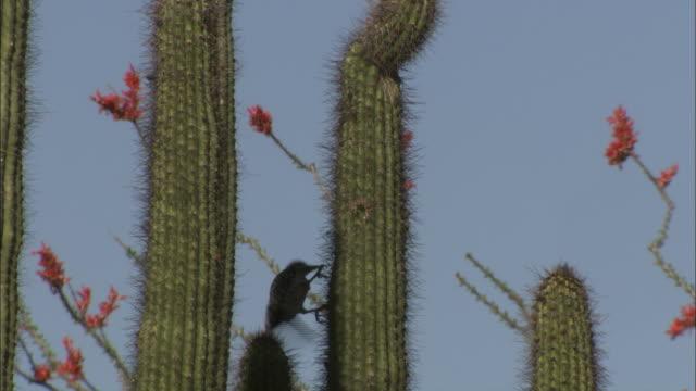A bird pecks at a tall desert cactus.