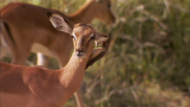 a bird pecks in the ear of a juvenile impala doe available in hd - symbiotic relationship stock videos & royalty-free footage