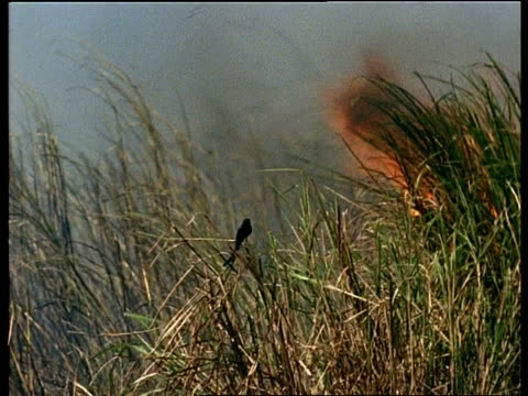 vidéos et rushes de ms bird perched on grass with bushfire raging close by, india - innocence