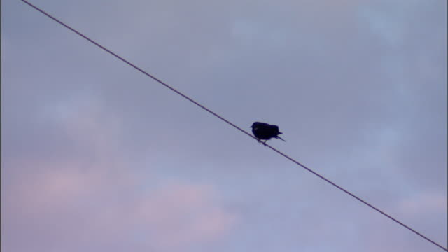 a bird perches on a power line. - birdsong stock videos & royalty-free footage