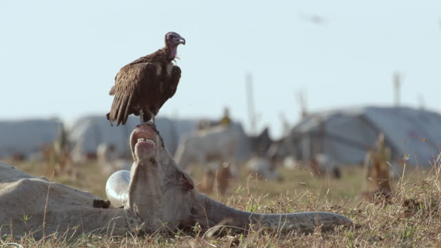 bird perching on dead cattle head / sudd swamps, south sudan, africa - animal mouth stock videos & royalty-free footage
