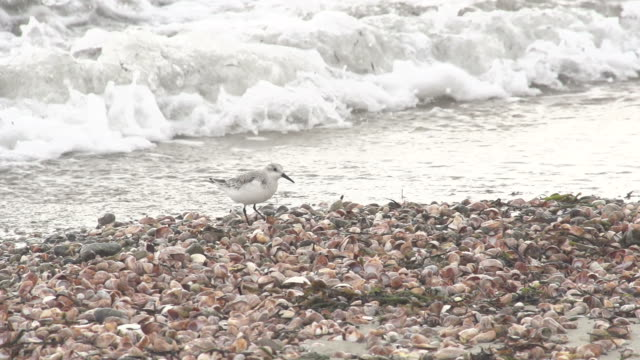Bird Picking Through Shells on beach