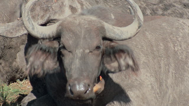 a bird scrambles up the face of an african buffalo. - wild cattle stock videos & royalty-free footage