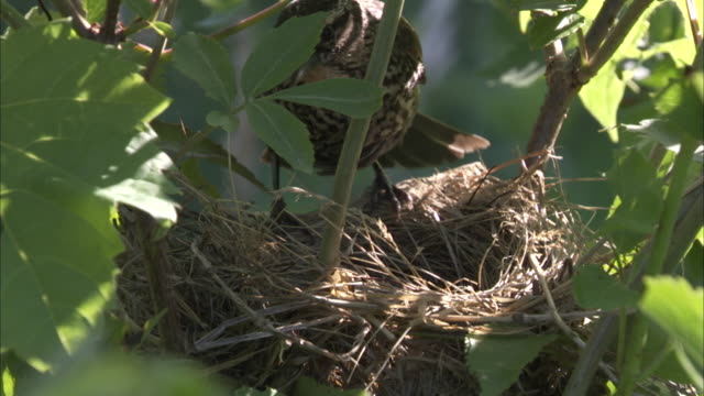 a bird settles into its grassy nest. - bird's nest stock videos & royalty-free footage