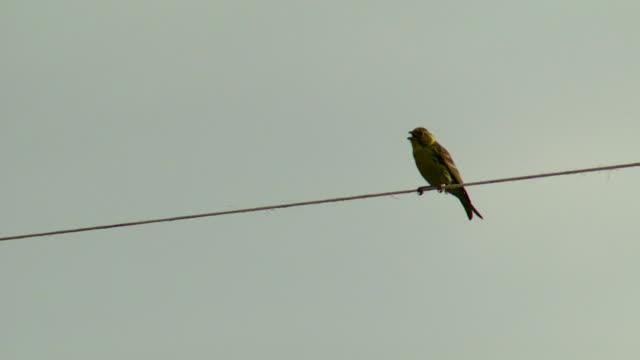 vídeos y material grabado en eventos de stock de hd: pájaro canta en libertad - carrizo familia de la hierba