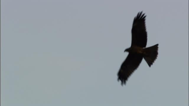 stockvideo's en b-roll-footage met a bird soars over antennas on an overcast day. - voelspriet
