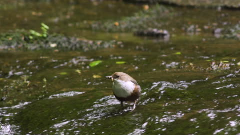 bird standing in stream with worm in mouth - 40 seconds or greater stock videos & royalty-free footage