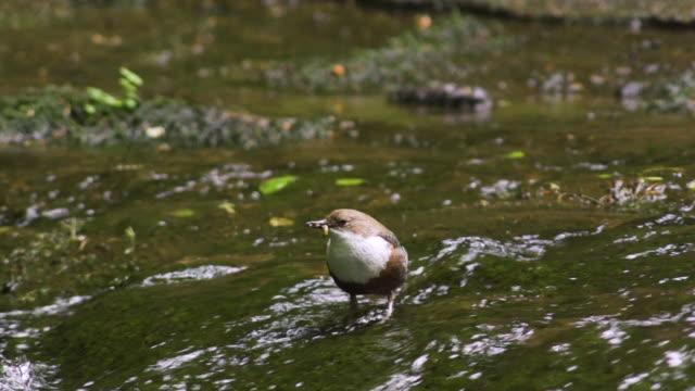 vídeos de stock e filmes b-roll de bird standing in stream with worm in mouth - 40 segundos ou mais