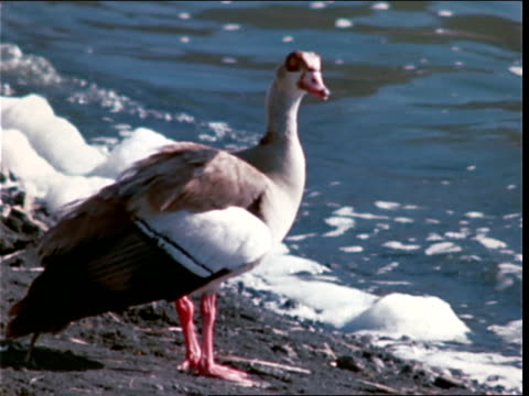 a bird stands on a riverbank as foamy water washes ashore. - zoologia video stock e b–roll