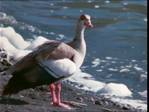 vidéos et rushes de a bird stands on a riverbank as foamy water washes ashore. - water bird
