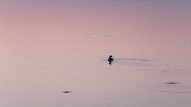 bird swimming at sunset and fishes jump out of the lake - water bird stock videos & royalty-free footage