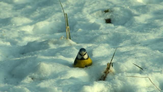 stockvideo's en b-roll-footage met vogel titmous in de sneeuw - pikken