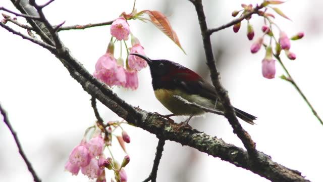 Vogel (Groenen staart sunbird)