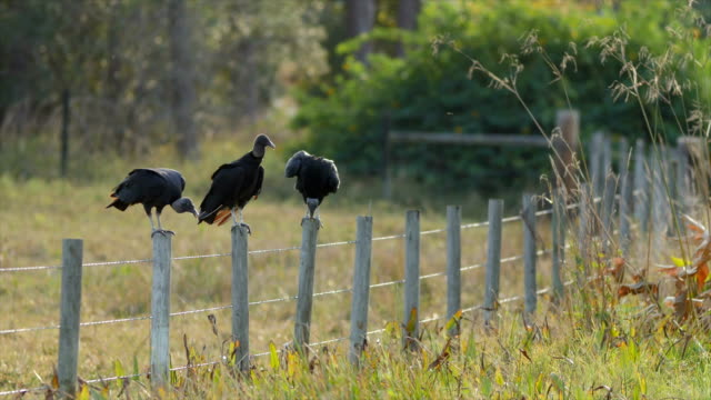 bird vulture resting and ready for hunting - fence stock videos & royalty-free footage