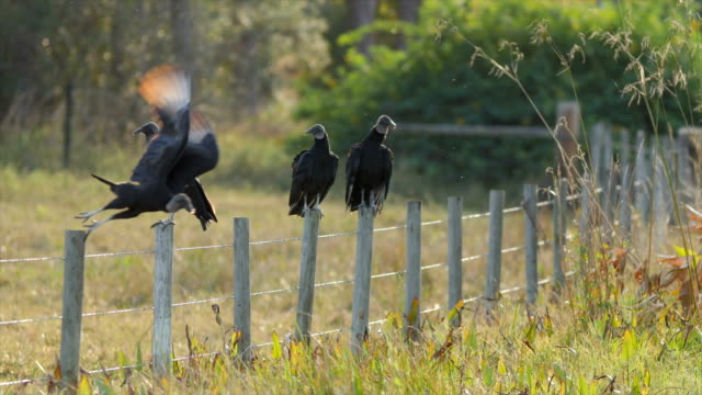 bird vulture resting and ready for hunting - bird hunting stock videos & royalty-free footage