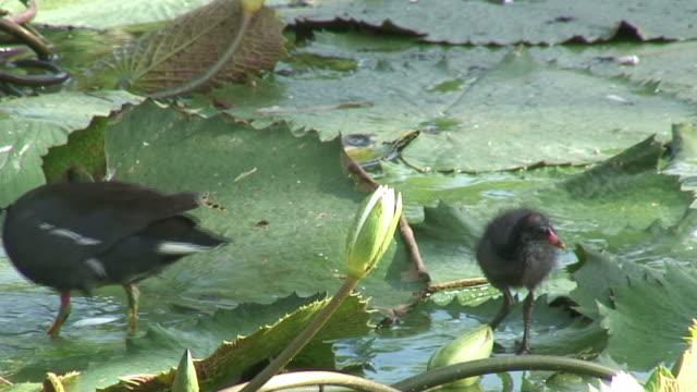 bird walking in the swamp 2 - hd 60i - water bird stock videos & royalty-free footage