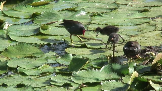 bird walking in the swamp 3 - hd 60i - water bird stock videos & royalty-free footage