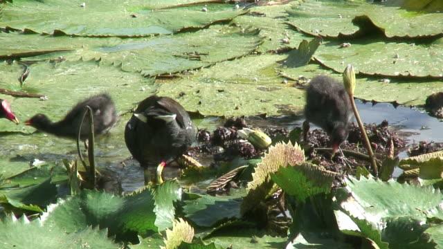 bird walking in the swamp 4 - hd 60i - water bird stock videos & royalty-free footage