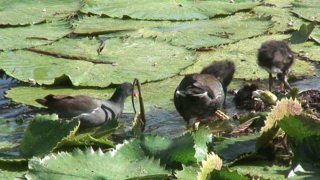 bird walking in the swamp 5 - hd 60i - water bird stock videos & royalty-free footage