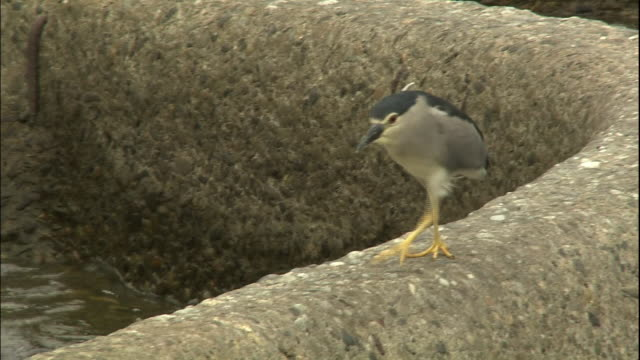 bird walking on a rock. - bunter reiher stock-videos und b-roll-filmmaterial